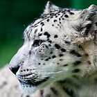 Snow Leopard - Wildlife Heritage Foundation by Nick Tsiatinis