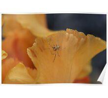 Spider on Iris. Poster