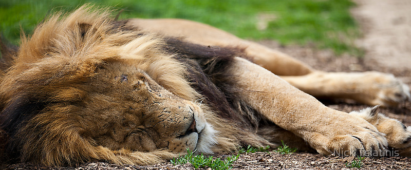 Sleeping Lion - Wildlife Heritage Foundation by Nick Tsiatinis