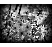pear tree blossoms Photographic Print