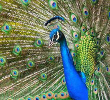 Colorful Peacock by Ray Schiel