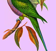 The Lord Derby's parakeet (Psittacula derbiana) by marmur
