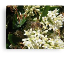 First Bee of the Season Canvas Print