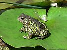 Frog Sitting on a Water Lily by Barberelli