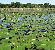 Lake Covered With Water Lilies by Barberelli