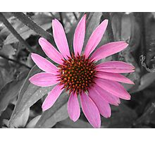 Pink Dog Daisy Wildflower Photographic Print