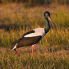 Dusk Stork by byronbackyard