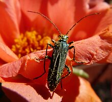 A bug, full of pollen, visiting a portulaca flower by presbi