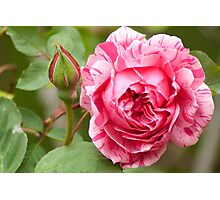 Variegated Rose Photographic Print