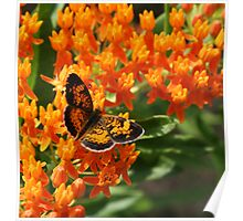 Pearl Crescent Poster
