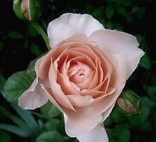 Ambridge Rose ~ May 2010 by LouiseK