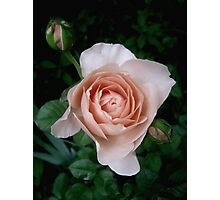 Ambridge Rose ~ May 2010 Photographic Print
