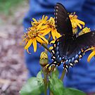 Pipeline Swallowtail VA State Insect by Sunshinesmile83