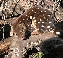 Spotted Quoll At Devil Sanctuary, Cradle Mountain, Tasmania,Australia. by kaysharp