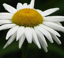 Ox-eye Daisy by lorilee