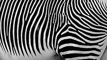 Zebra close-up by Jeannine St-Amour
