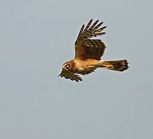 Northern Harrier (Female) by Bill McMullen