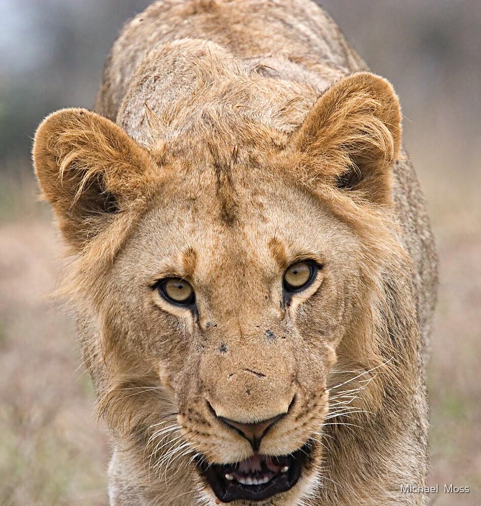 Juvenile Male Lion  by Michael  Moss