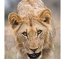 Juvenile Male Lion  Photographic Print