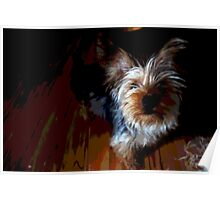 Silky Terrier Poster