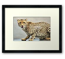 UP CLOSE.. THE CHEETAH - Acinonyx jabatus - Jagluiperd Framed Print