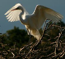 Egret Facing Left by Jeff Holcombe