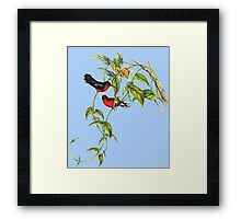 The buffy hummingbird (Leucippus fallax) Framed Print