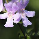 """Dew on Coastal Rosmary"" macro by Justine Walke"
