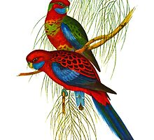 The Adelaide rosella by marmur