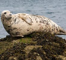 grey seal sometimes you just have to kick back, take it easy and watch the World go by! by Grandalf