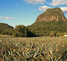 Pineapple Plantation by hans p olsen
