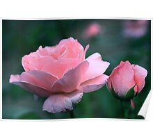 Queen Elizabeth Grandiflora Rose Poster