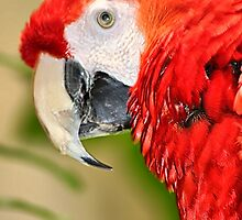 Scarlet Macaw 2 by Teresa Zieba
