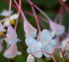 Begonia Dance by Claudia Smaletz