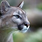 Puma - Wildlife Heritage Foundation by Nick Tsiatinis