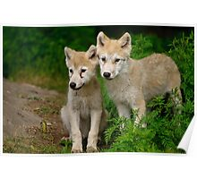 Arctic Wolf Pups Poster