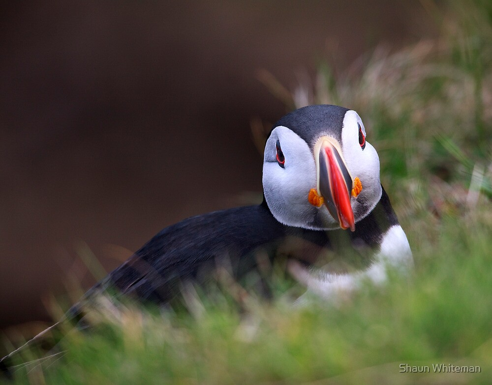 Puffin at Sumburgh head another look by Shaun Whiteman