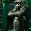 Mature Bonobo Chimp by G. Patrick Colvin