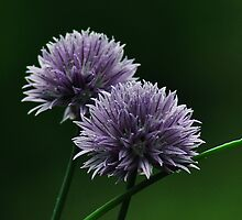 Onion Flower by metronomad