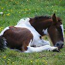 Foal - resting in the shade by monkeyferret