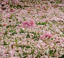 Fallen petals by Themis