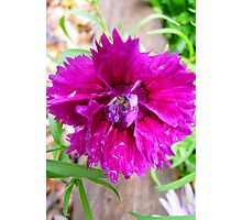 Pink Carnation....Imperfect Beauty Photographic Print