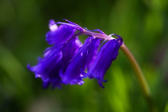Bluebells by PaulBradley
