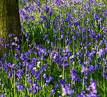 Bluebell meadow by PaulBradley