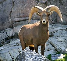 Big Horn Sheep by Linda Davidson