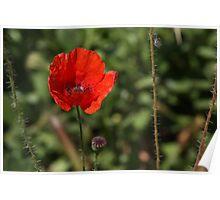 Poppy 3729 Poster