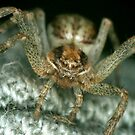 Spider by Ian Chapman