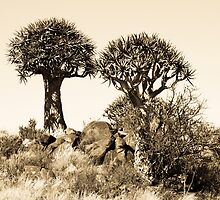 Magical Quivertree from Namibia by ValeskaE