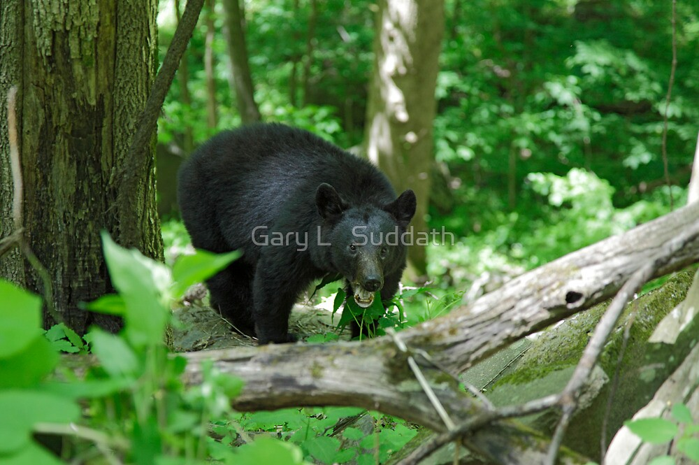 Black Bear II by Gary L   Suddath