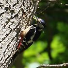 Great Spotted Woodpecker. by PeterWort